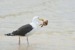 Чайка с крабом в клюве Стоковое Изображение