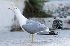 Чайка с открытым ртом Стоковое Фото