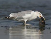Чайка с рыбами в клюве стоит в воде Стоковое фото RF