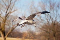 Чайка сельдей Стоковая Фотография RF