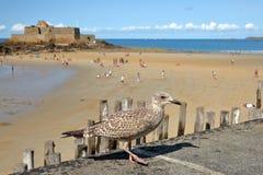 Чайка с фортом национальным и пляжем во время отлива на заднем плане, Святой Malo стоковые изображения rf