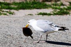 Чайка с flounder в своем рте Стоковая Фотография