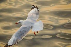 чайка Таиланд Стоковая Фотография