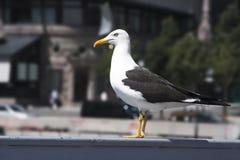 чайка урбанская Стоковое Фото