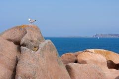 чайка утеса свободного полета brittany Стоковые Фотографии RF