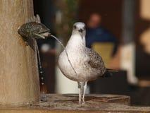 чайка фонтана Стоковые Изображения RF