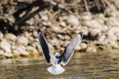 Чайка Франклина (Leucophaeus pipixcan) Стоковое Фото