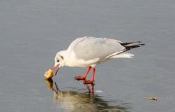 Чайка, хлеб клевков Стоковое Фото