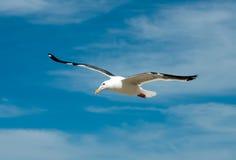 чайка Стоковые Изображения
