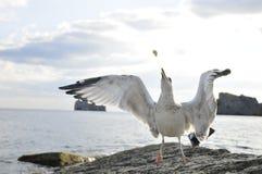 чайка 2 летая Стоковое Изображение