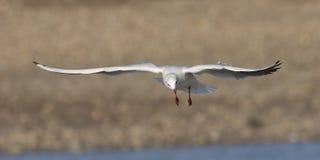 чайка 2 полетов Стоковая Фотография