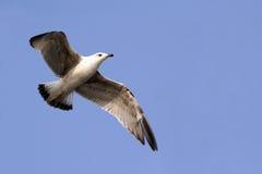 чайка 2 Стоковые Фотографии RF