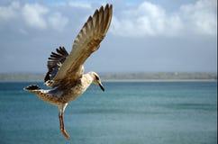 чайка Стоковое Изображение