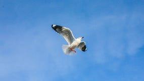 Чайка Стоковые Фотографии RF