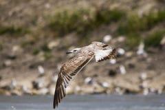 чайка 4 Стоковое Фото