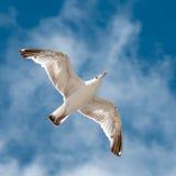 Чайка Стоковые Изображения RF