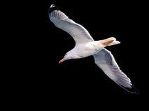 чайка Стоковое Фото