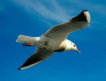 Чайка, Стоковая Фотография RF