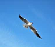 чайка Стоковое Изображение RF