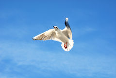 чайка Стоковые Фото