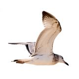 чайка Стоковая Фотография RF
