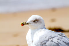 Чайка, argentatus Larus Стоковые Фотографии RF