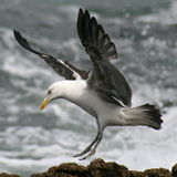 Чайка Blackback Стоковое фото RF