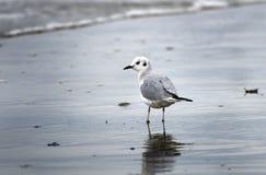 Чайка Bonaparte на seashore Myrtle Beach стоковое фото