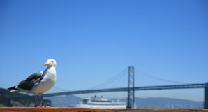 чайка california Стоковая Фотография RF