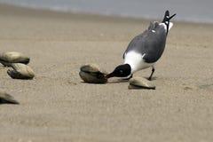 чайка clam Стоковое Изображение RF