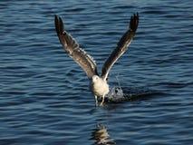 Чайка Crassirostris Larus Стоковое Изображение