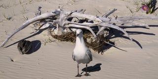 Чайка & Driftwood на древнем песочном тропическом пляже острова Стоковые Изображения RF