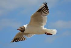 Чайка Flyin Стоковая Фотография