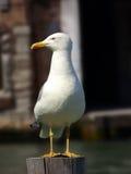 Чайка, fuscus Larus, стоящ на куче и лож в ожидании для туристов Стоковое Изображение