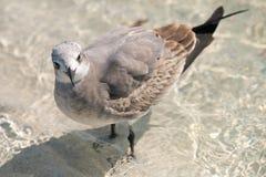 Чайка Laughig Стоковое фото RF