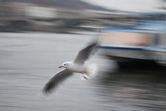чайка s мухы стоковая фотография rf