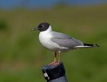 чайка s bonaparte Стоковая Фотография RF