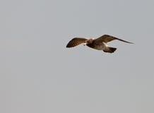 чайка s franklin Стоковые Фотографии RF