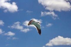 Чайка ` s Hartlaub стоковое изображение