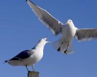 чайка squawking стоковое фото rf