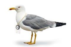 чайка venturesome Стоковая Фотография RF