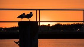 Чайки близнецов в Солнце стоковое фото rf