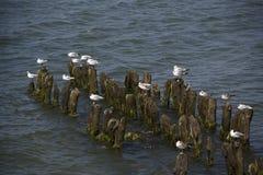 Чайки в Балтийском море Стоковая Фотография RF