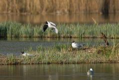 Чайки в бое для места Стоковое Фото