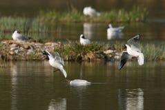 Чайки в бое для места Стоковые Фото