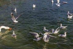 Чайки в зиме, на озере в Австрии Стоковые Изображения RF