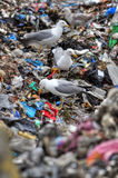 Чайки в месте захоронения отходов стоковые изображения rf