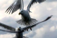 Чайки в небе Стоковые Изображения RF