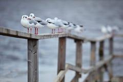 Чайки в образовании Стоковые Изображения RF