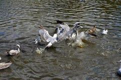 Чайки в подавая остервенении над едой Стоковые Фото